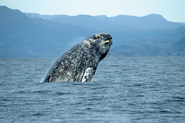 Gray whale along the shoreline.