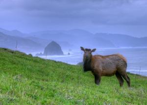 Cow_elk_near_haystack_rock,_Cannon_Beach,_OR